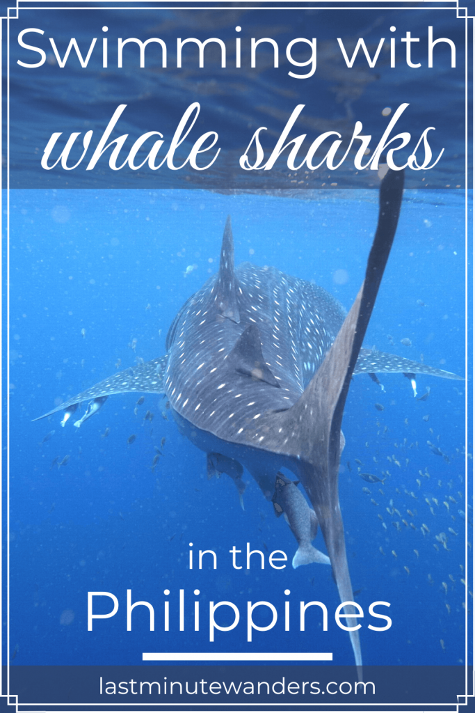 Whale shark swimming away from camera with text overlay - Swimming with whale sharks in the Philippines