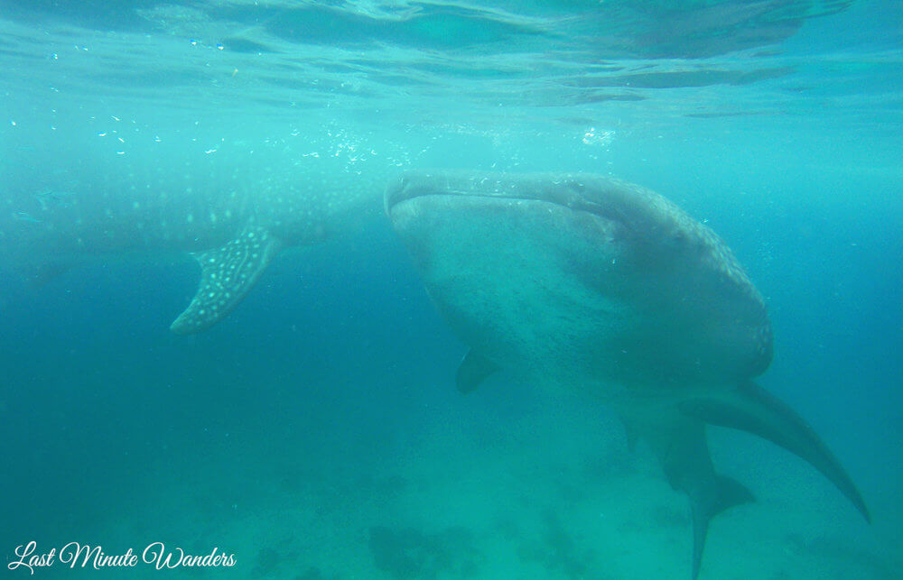 Two whale sharks