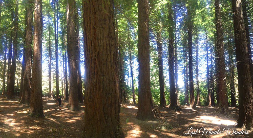 Tall redwoods with man in background