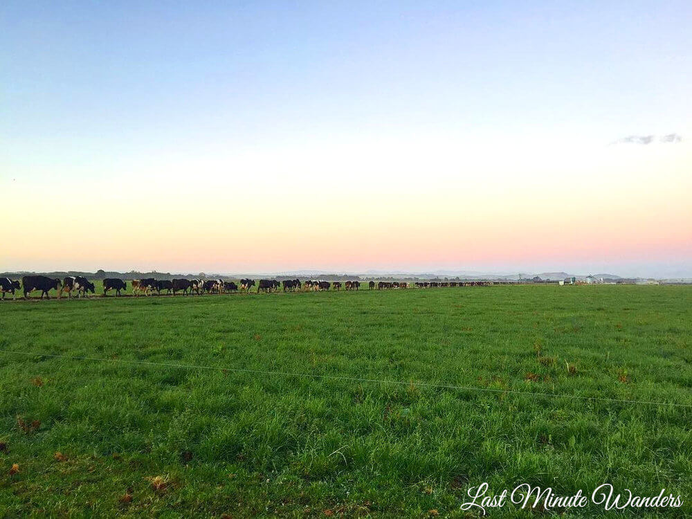 Long line of cows walking towards farm at sunrise