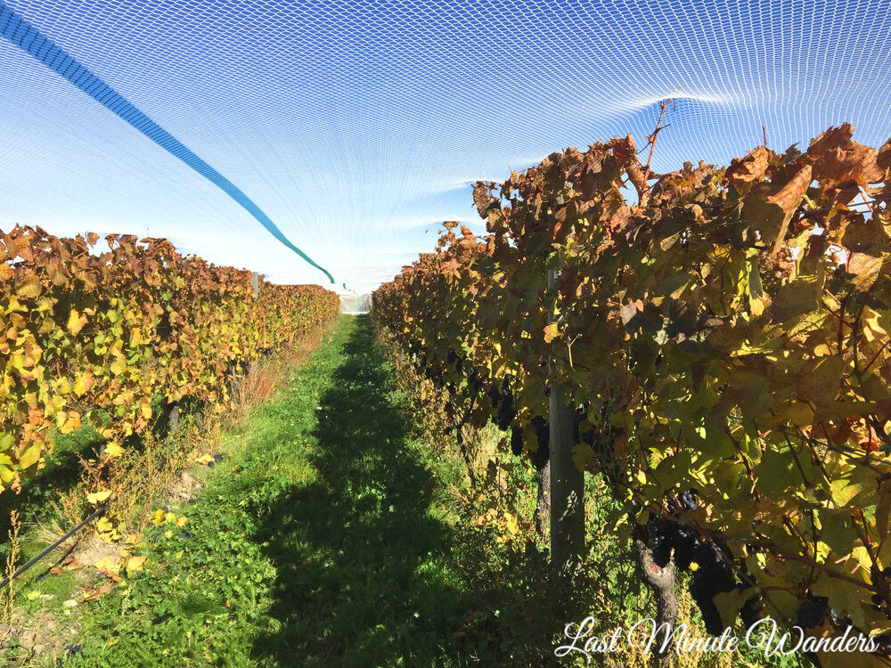 View along vineyard row under net