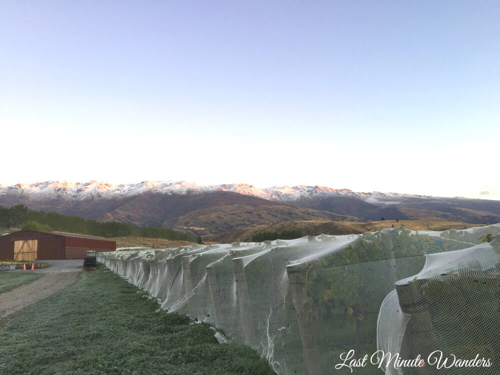 Ends of vineyard rows covered in nets with snowy mountains behind